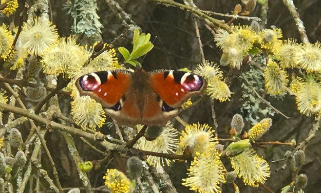 View of red butterfly with black, white, yellow and blue markings resting on Pussy Willow.