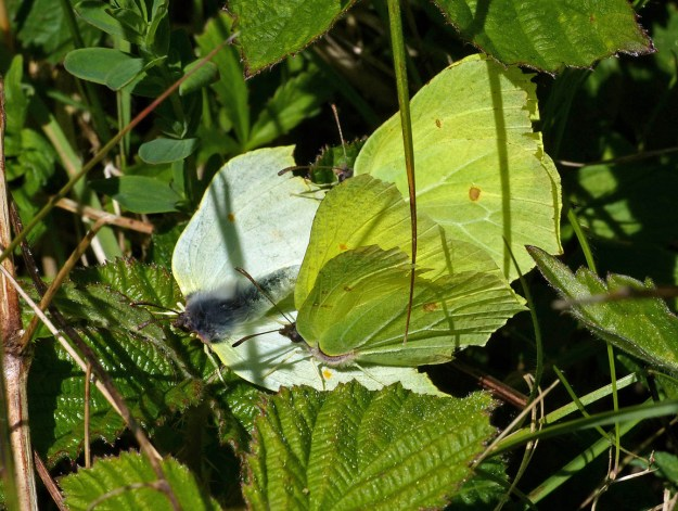 View of three butterflies - one white and two greenish yellow in some green vegetation