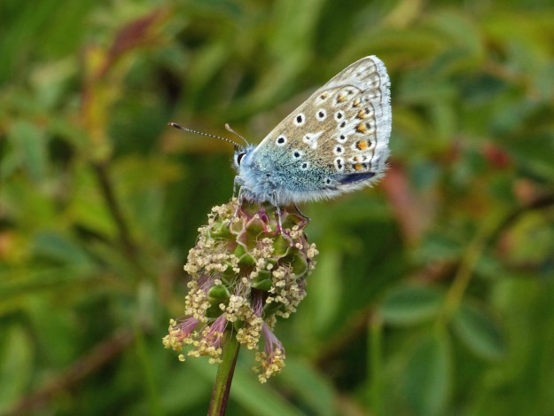 View of a blue and beige butterfly with black, white and orange markings perching on a flower head
