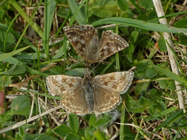 View of two resting brown butterflies with some paler markings