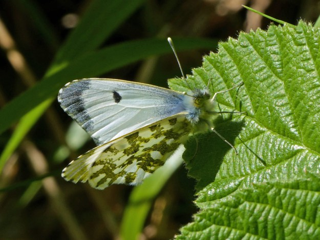 View of a white butterfly with some green and black markings resting on a green leaf
