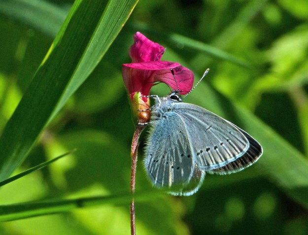 View of a light blue butterfly on a red flower