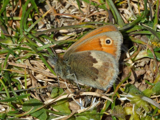 View of a resting pale brown and orange butterfly