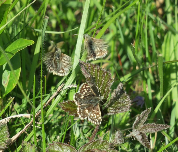 View of 3 brown butterflies with some cream markings resting on green vegetation