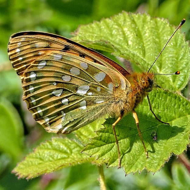 View of an orange, green and brown butterfly with some white markings resting on a green leaf