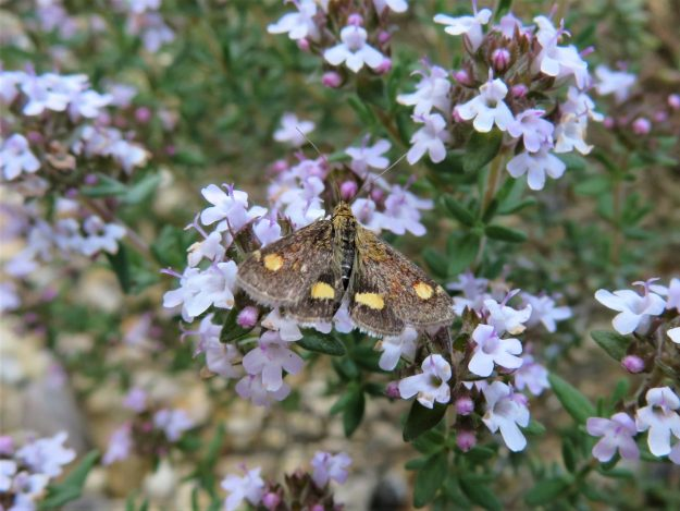 tiny  red and gold moth with a brownish background on Thyme