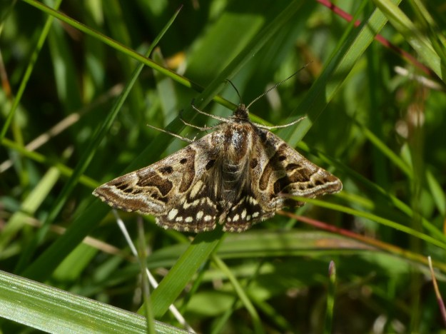 Brown and Cream  highly partterned moth with a face  on the outer corners of forewings