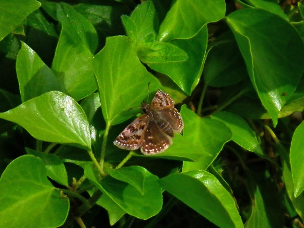 View of a brown butterfly resting on a green leafed Ivy