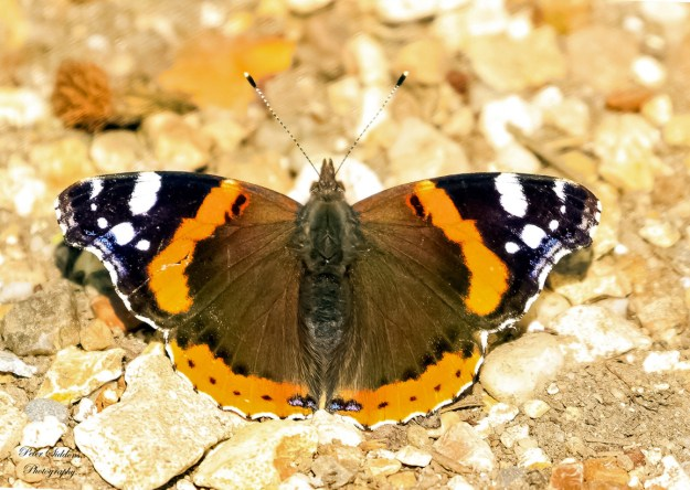 View of a resting brown and orange butterfly with black and white markings on the wing tips