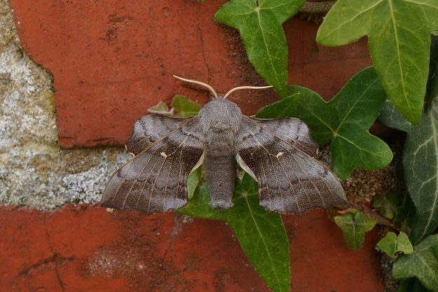 large brown /grey hawkmoth with  darker crossbands on all wings