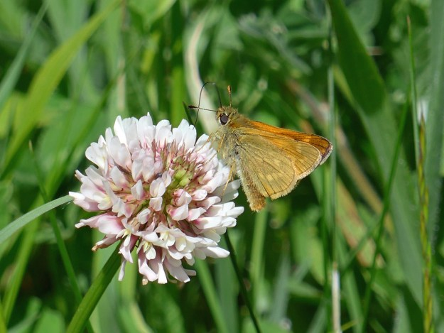 View of a golden brown and orange butterfly nectaring on a pinkish white Clover flower