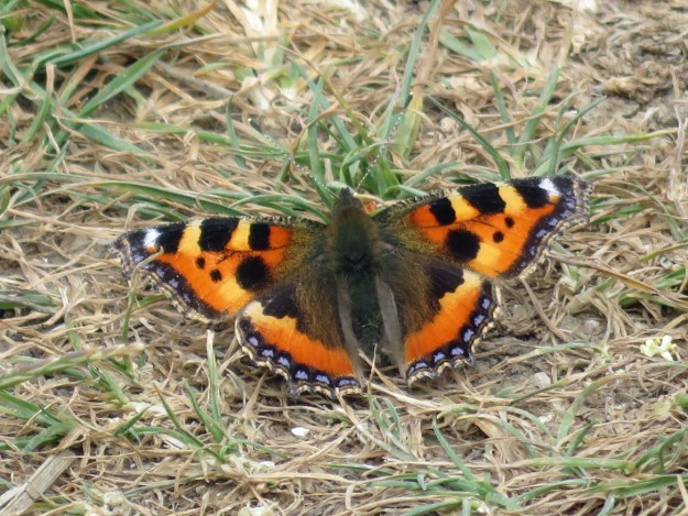 View of a resting orange butterfly with black, white, blue and yellow markings