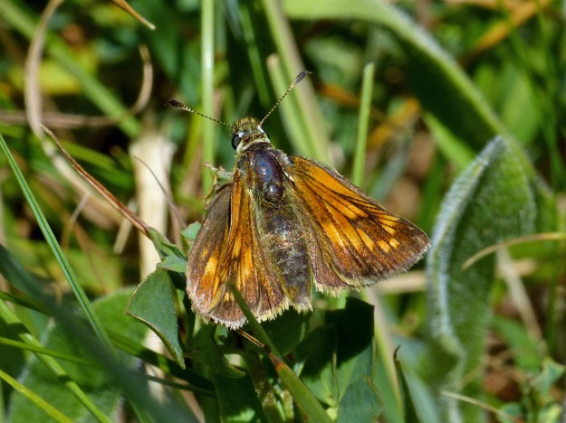 View of a golden brown butterfly resting on green vegetation