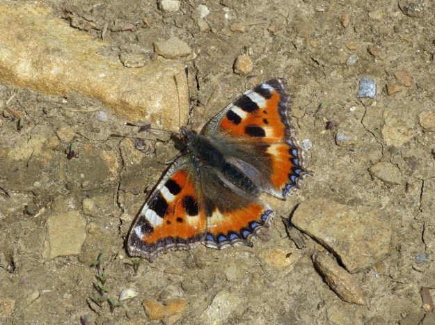 Orange butterfly with black, white, yellow and blue markings resting on the ground