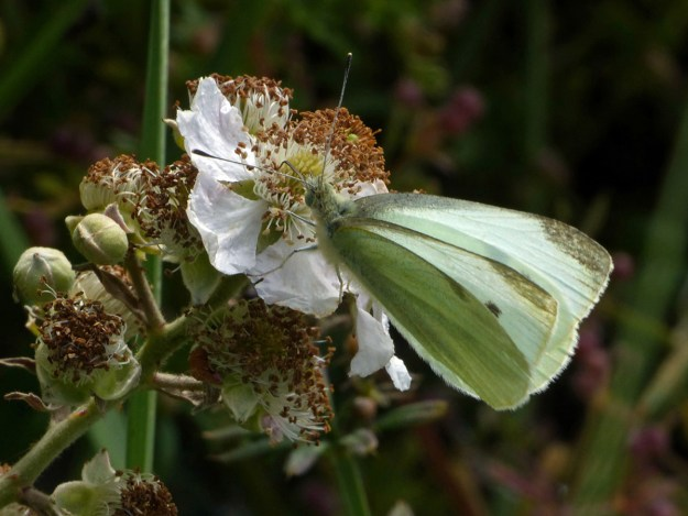 Greenish white buuterfly nectaring on a white bramble flower