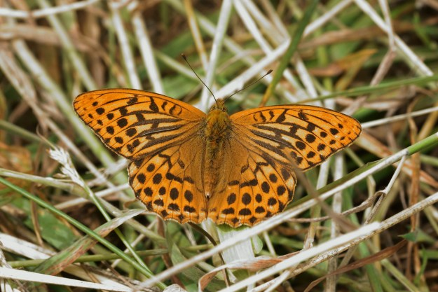 View of a resting orange butterfly with black markings