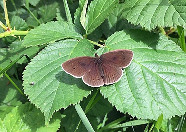 Brown butterfly with some black spots and a white fringe to the wings resting on a green leaf