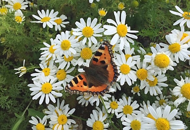 Orange butterfly with black, white and yellow markings resting on white flowers
