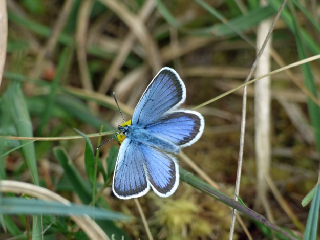 Blue butterfly with black markings and white fringe to the wings resting on a plant stem