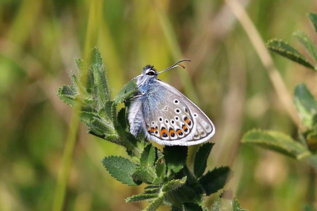Silver blue butterfly with orange, black and white markings resting on green leaves