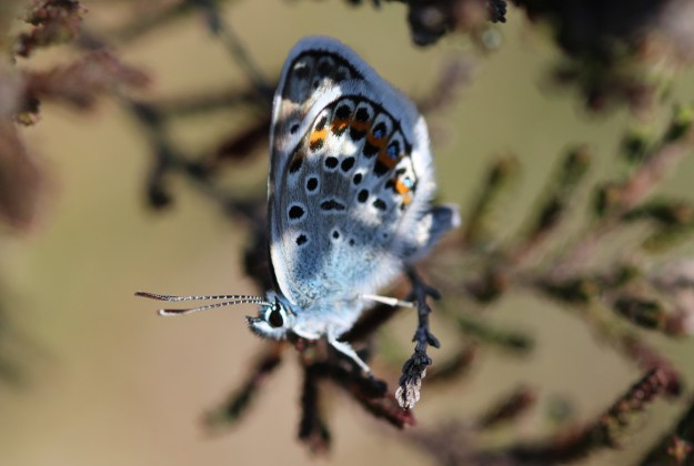 Silvery blue butterfly with some orange, white and black markings