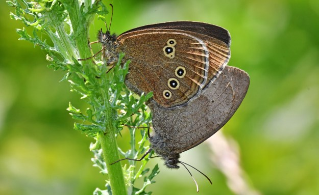 One brown butterfly with yellow rings on the wings and one greyish brown butterfly mating on a green plant