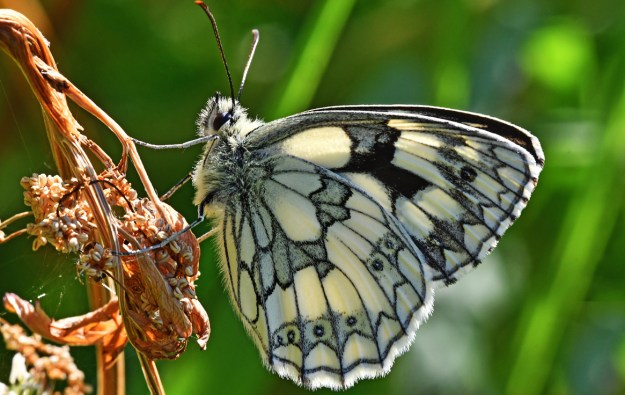 Creamy white butterfly with black markings nectaring on a flower