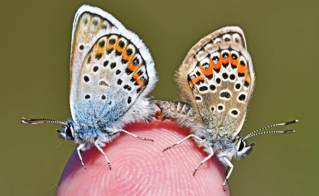 Two silvery blue and pale brown butterflies with black, white and orange markings resting on a fingertip