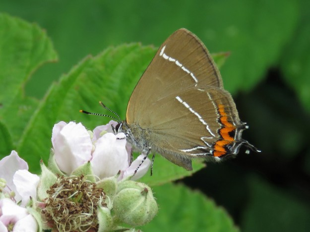 Brown butterfly with white and orange markings nectaring on a white bramble flower