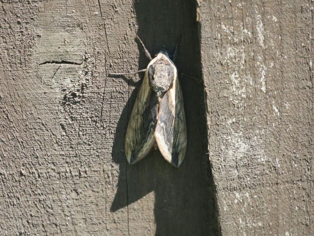 Grey and Black Hawkmoth resting with closed wiongs