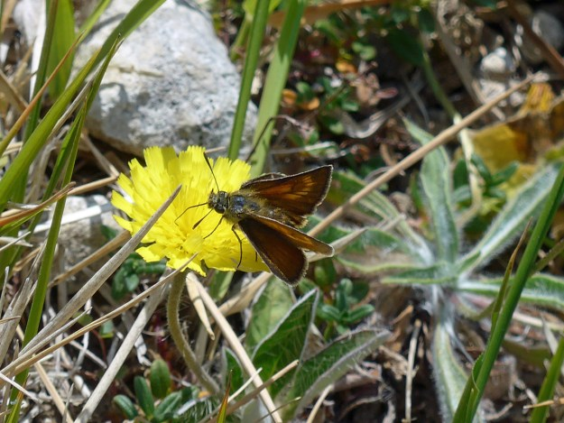 Brown butterfly with golden markings nectaring on a yellow flower