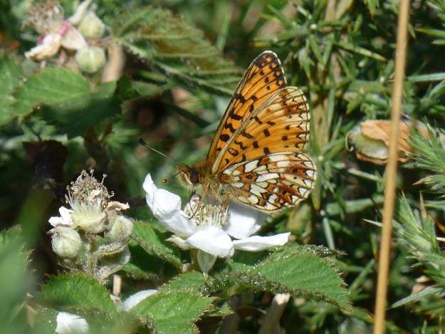 Orange, brown and creamy white butterfly with some black markings nectaring on a white bramble flower