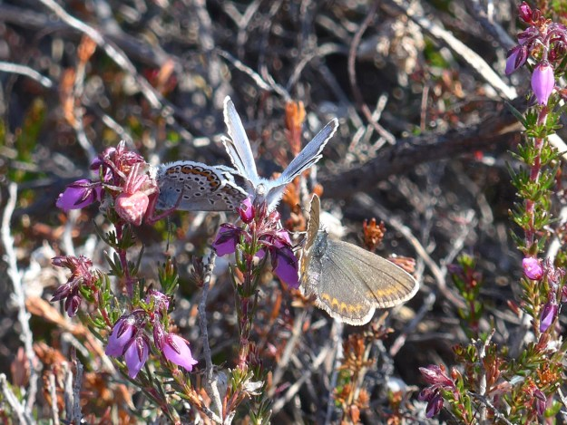 Three silvery blue, light brown and orange butterflies with some white and black markings nectaring on flowers