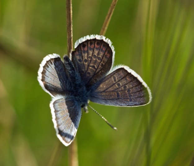 View of a backlit silvery blue butterfly with brown, black, white and orange markings reflected through by the sunlight