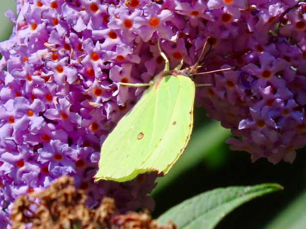 Greenish yellow butterfly with some brown markings nectaring on a purple buddleia flower