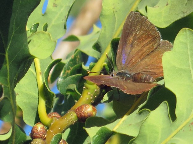 View of a brown butterfly with a purple patch on the wing resting in an oak tree
