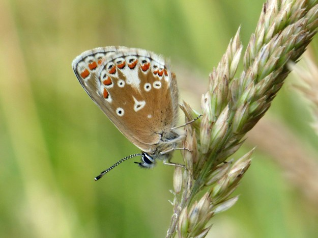 Light brown butterfly with orange, black and white markings resting on a seed head.