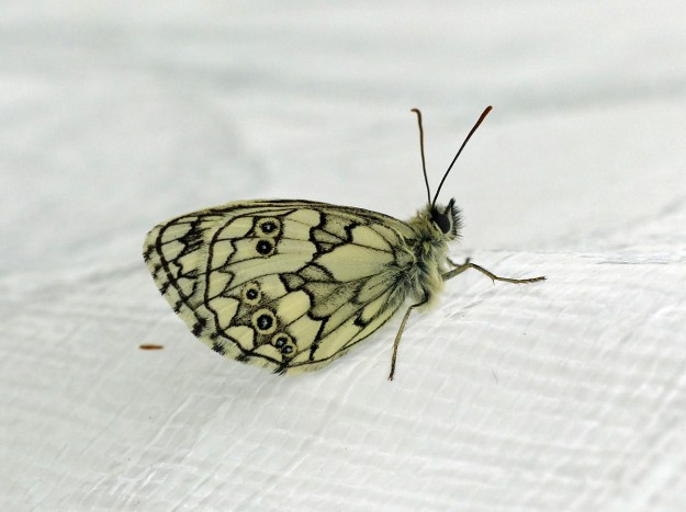 View of a resting yellowish white butterfly with black markings