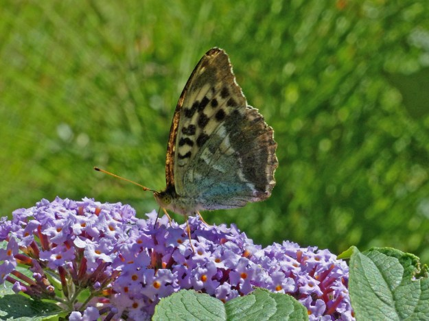 Greenish blue and brown butterfly with black and lighter coloured markings nectaring on a lilac coloured Buddleia flower