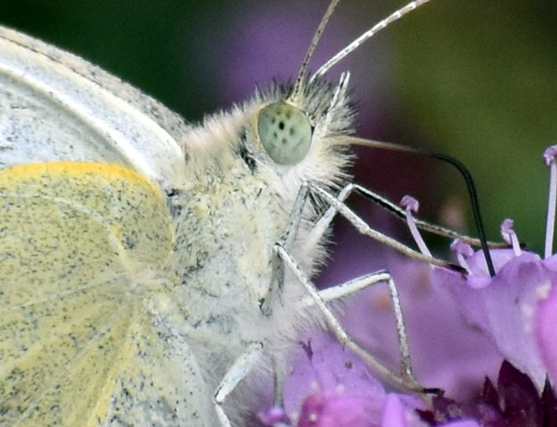 Close up photo of the head of a white butterfly on a pink flower