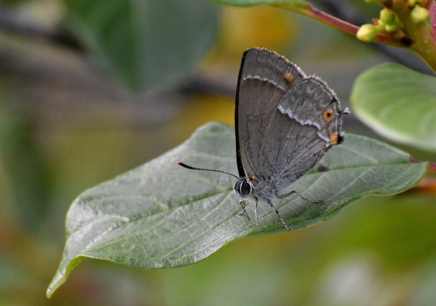 Greyish butterfly with white and orange markings resting on a green leaf