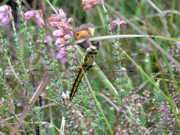 View of a brown and orange butterfly captured by a green and black dragonfly