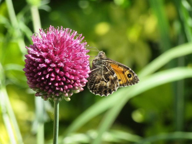 Greyish brown and orange butterfly nectaring on a pink flower
