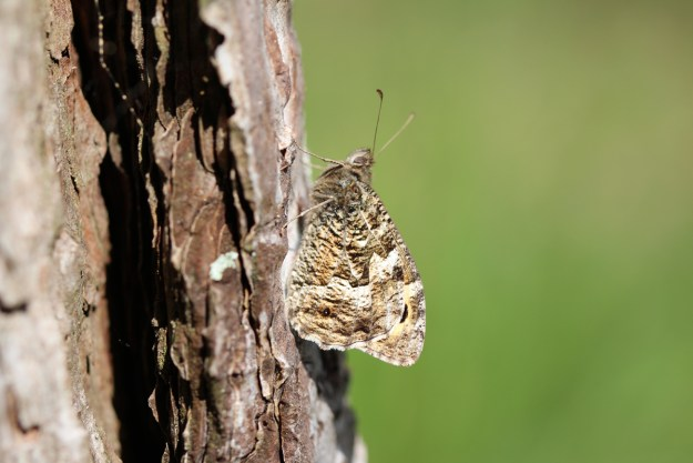 Greyish brown butterfly resting on a tree trunk