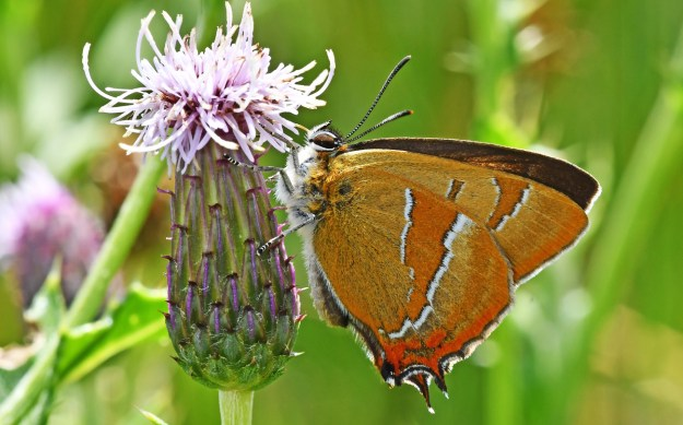 Brown butterfly with white and orange markings nectaring on a pink flower