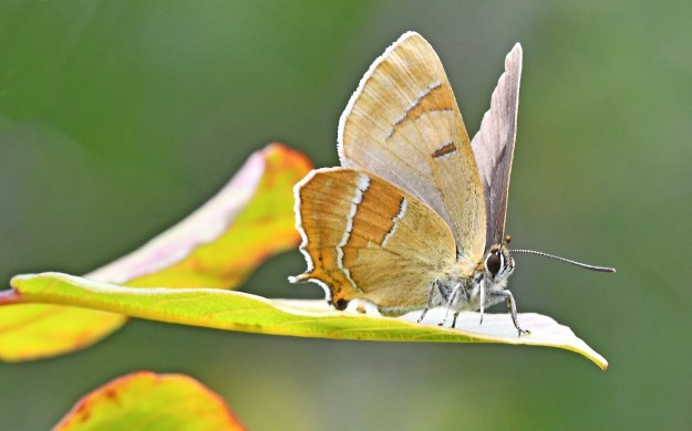 Pale beige and orange butterfly with white markings resting on a green leaf