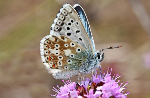 Brown, silver-grey and blue butterfly with black, orange and white markings and white fringe to wings