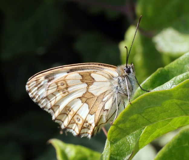 White butterfly with brown markings resting on a green leaf