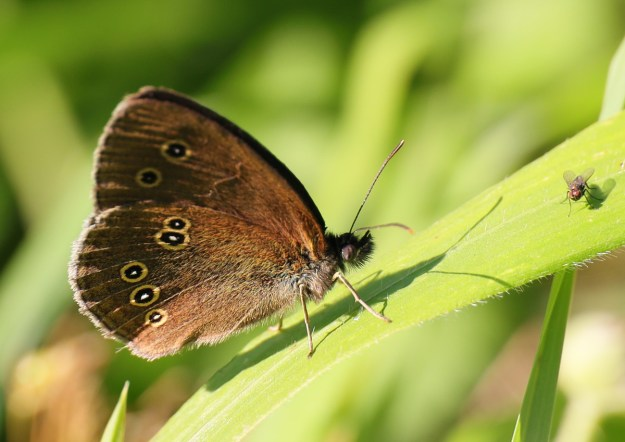 Brown butterfly with yellow, black and white ring markings on the wings