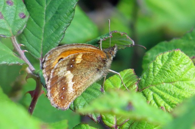 Brown and orange butterfly with white dots on the wings resting on a green leaf